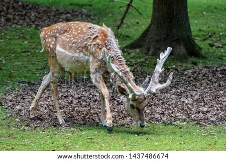The fallow deer, Dama mesopotamica is a ruminant mammal #1437486674
