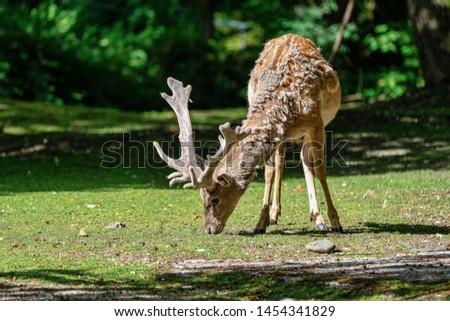 The fallow deer, Dama mesopotamica is a ruminant mammal #1454341829