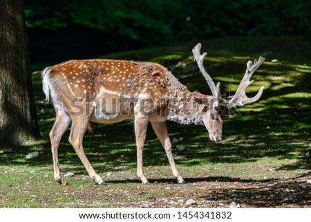 The fallow deer, Dama mesopotamica is a ruminant mammal #1454341832