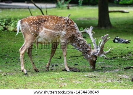 The fallow deer, Dama mesopotamica is a ruminant mammal #1454438849