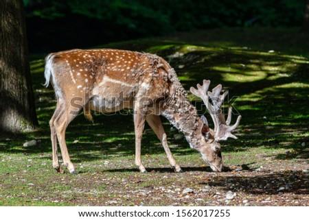 The fallow deer, Dama mesopotamica is a ruminant mammal #1562017255