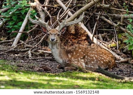 The fallow deer, Dama mesopotamica is a ruminant mammal #1569132148