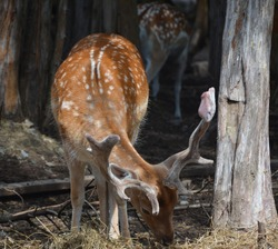 The fallow deer stag (Dama dama) is a ruminant mammal belonging to the family Cervidae.