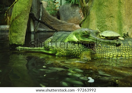 The false gharial (Tomistoma schlegelii), also known as the Malayan gharial, ZOO, Czech Republic