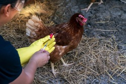 The famers Going to vaccinate Prevent the epidemic, keep the chickens he fed on the farm, to H5N1 and bird flu concept.