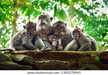 The family of monkeys with baby monkey. Monkey forest, Ubud, Bali, Indonesia. #1309278943