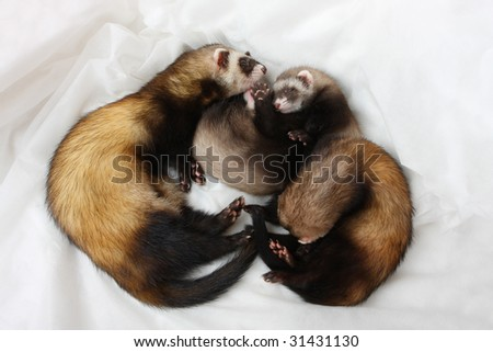 The family of polecats sleeps