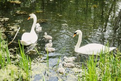 the family of swans - as a symbol of love, fidelity and care. pair of swans with little swan chicks on a wild lake in summer