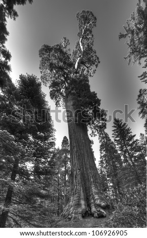 The famous General Grant Sequoia tree, the second biggest tree in the world.
