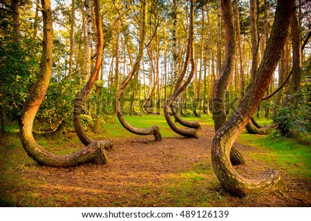 The famous Gryfino mysteriously curved pine trees
