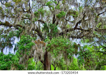 The famous live Southern Live Oaks covered in Spanish Moss growing in Savannah\'s historic squares. Savannah, Georgia