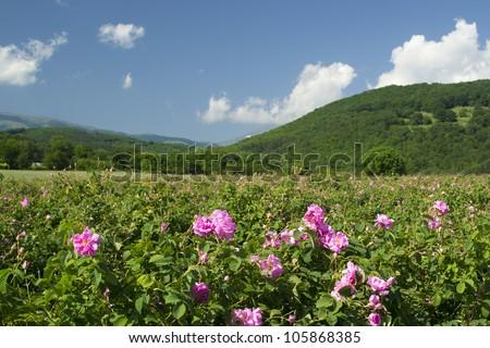 The famous rose fields in the Thracian Valley near Kazanlak Bulgaria - stock photo