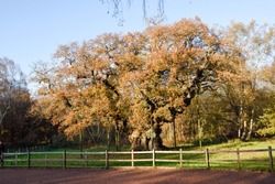 The Famous Sherwood Forest and Major Oak in Autumn foliage in the English county of Nottinghamshire,UK.