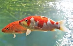 The Fancy carp (Mirror carp; Koi, Nishikigoi) in freshwater aquarium. Cyprinus carpio are an ornamental domesticated subspecies, which are brightly colored.