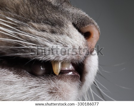 The fangs of a cat is very big. Cat open mouth and nose. Yellow Fang. Cat predator