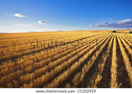 The farm in wheaten fields of Montana after harvesting