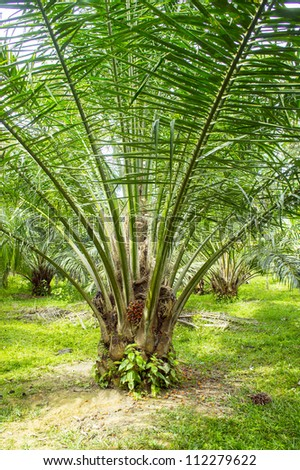 the farm of palm oil