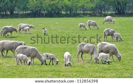 The Farm - the sheep on pasture .