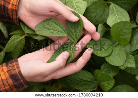 The farmer inspects and checks the green leaves of soybeans for the presence of pests. Agricultural industry Stock foto ©