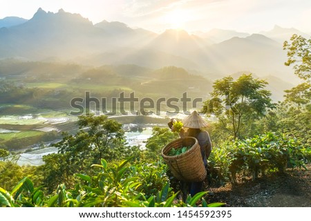 Photo of The farmer on tea plantations background , Tea plantations in morning light, Sapa, Lao Cai, Vietnam