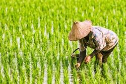 The Farmer planting on the organic paddy rice farmland