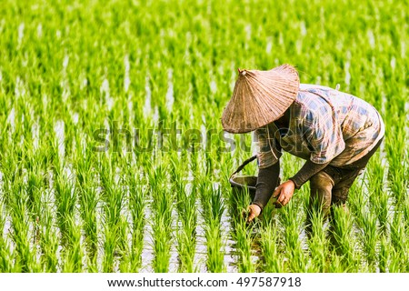 The Farmer planting on the organic paddy rice farmland #497587918