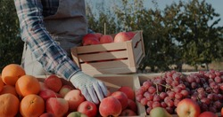 The farmer puts ripe apples on the counter. Farmer's market and products from local producers