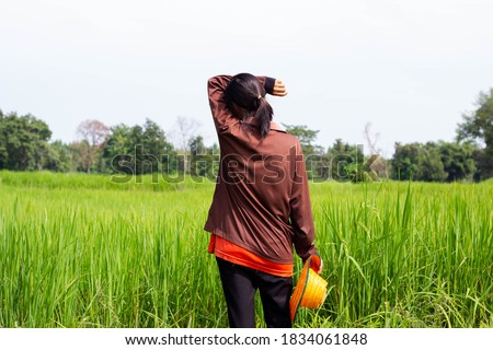 The farmer stood looking at the rice plant. Rice fields in thailand. Golden yellow rice. Rice plant disease.
