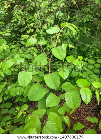 The fast-growing, invasive, plant Japanese Knotweed or 'Polygonum cuspidatum' or Fallopia japonica'