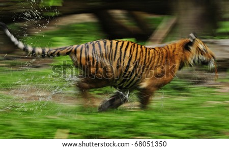 The fast motion of the running Bengal tiger in forest