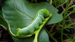 The fat green caterpillar .With white stripes on the side.There is a pattern near the header. Looks like big eyes.