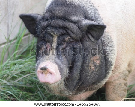 The fattened fat pig  breed is visibly invisible. The concept of home breeding pigs. #1465254869