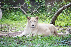 The female lion or panthers leo crouching and relaxing.