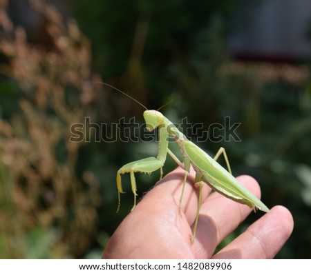 The female mantis religios. Predatory insects mantis. Huge green female mantis. Praying mantis on man's hand. #1482089906