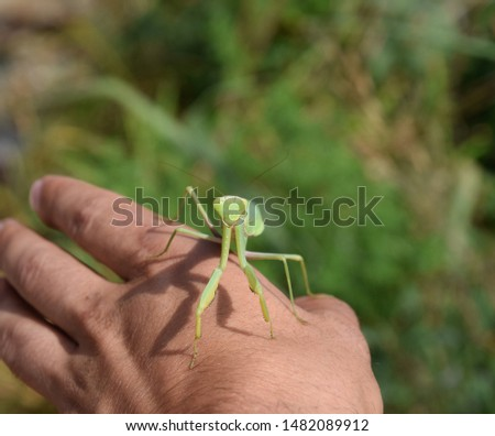 The female mantis religios. Predatory insects mantis. Huge green female mantis. Praying mantis on man's hand. #1482089912