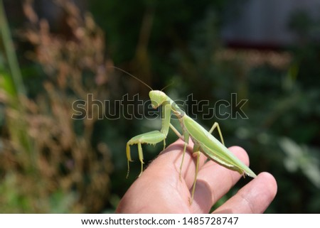 The female mantis religios. Predatory insects mantis. Huge green female mantis. Praying mantis on man's hand. #1485728747