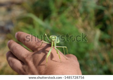 The female mantis religios. Predatory insects mantis. Huge green female mantis. Praying mantis on man's hand. #1485728756