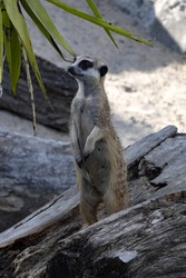 The female Meerkat, Suricata suricatta, stands guard and guards the gang