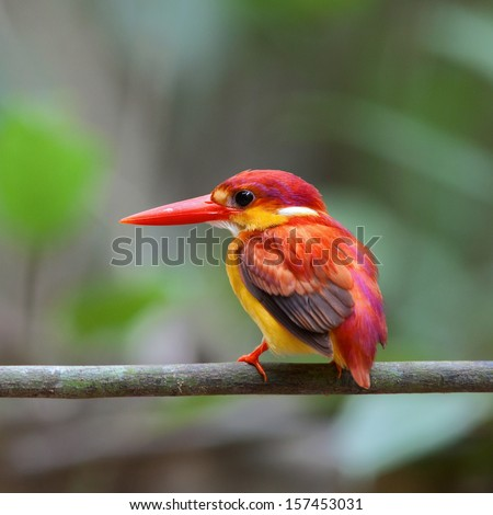 The female of Rufous-backed Kingfisher (Ceyx rufidorsa) is a species of bird in the Alcedinidae family. It is found in Thailand.