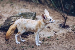 The fennec fox, or fennec (Vulpes zerda), is a small crepuscular fox found in the Sahara of North Africa, the Sinai Peninsula, South West Israel (Arava desert) and the Arabian desert.