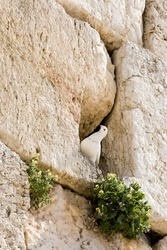 The feral white pigeon at the Wailing Wall. Jerusalem, Israel.