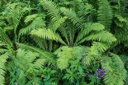 The fern (Latin Polypodióphyta) is a large class of higher plants that appeared about 400 million years ago, back in the Paleozoic era.