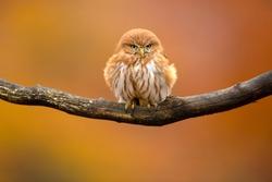 The ferruginous pygmy owl (Glaucidium brasilianum)
