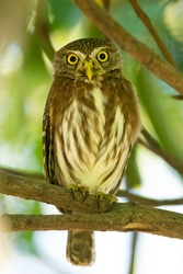 The ferruginous pygmy owl (Glaucidium brasilianum) is a small owl that breeds in south-central Arizona and southern Texas in the United States, south through Mexico and Central America