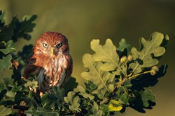 The ferruginous pygmy owl (Glaucidium brasilianum) is a small owl that breeds in south-central Arizona and southern Texas in the United States, south through Mexico, Central America, to South America.