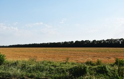 The field after the mown wheat. A forest belt can be seen in the distance of the mown field.