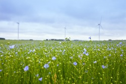 The field of blooming flax and windmill