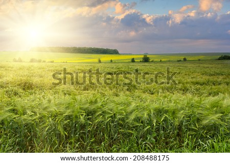 The field of green ears of barley at spring time