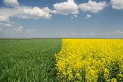 The field of rapessed and wheat divided on halvs with blue sky on the background