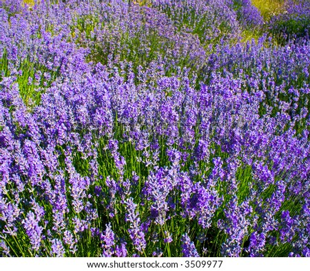 the field of the lavender in mountain